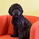 Picture of dark poodle sitting on a sofa